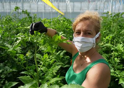 Martina Vítková si na vlastní kůži vyzkoušela sběr rajčat